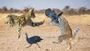 SERVAL, LEOPARD VS GUINEA FOWL | Two Animals Scramble Prey In Africa