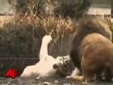 Тигр против льва. Тигр даже не старается. Tigers vs Lions.