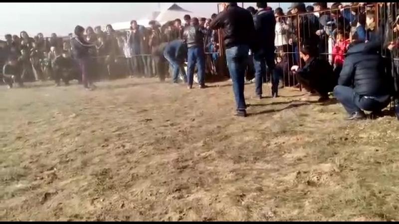 Чемпион Алапардын баласы Куттобет Туркестан