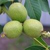 Настойка зеленого грецкого ореха купить. Лечение