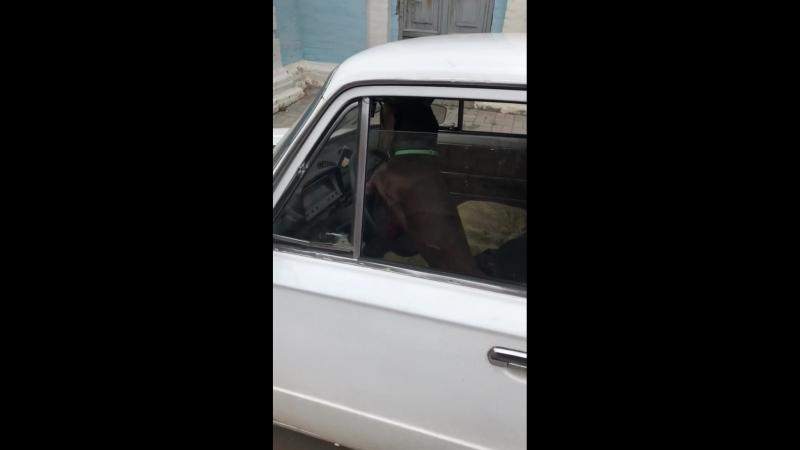Собака водитель давит на клаксон копия online video