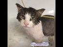 Редкий случай мытьё спокойного Кота