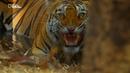 Тайны дикой природы Индии Короли джунглей Full HD 1080i