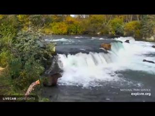 Медведи на Аляске едят лосось