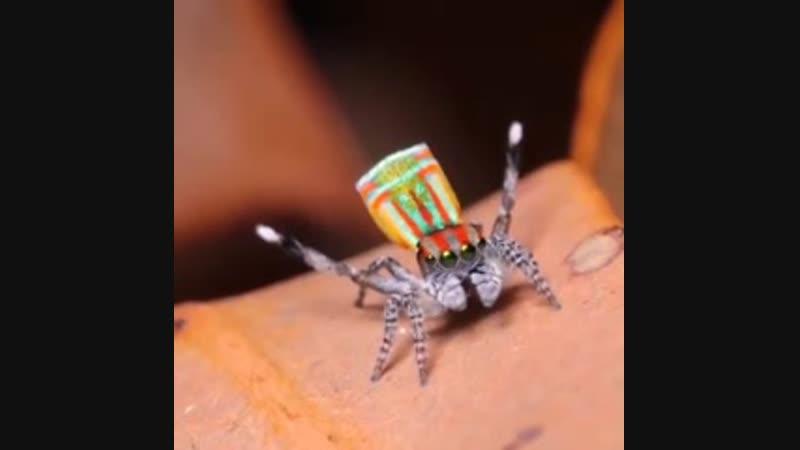 Танцующий павлиний паук (Maratus volans)
