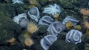 Massive Aggregations of Octopus Brooding Near Shimmering Seeps   Nautilus Live