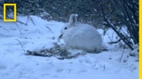 See a Meat-eating Hare Caught In The Act National Geographic