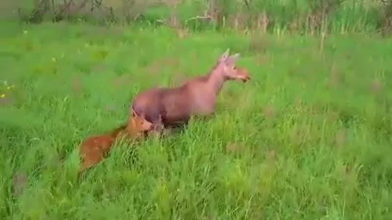МИЛОТА | У известной на весь мир калининградской лосихи появился малыш!  Год назад я опубликовал видео, заснятое с дрона, в кото