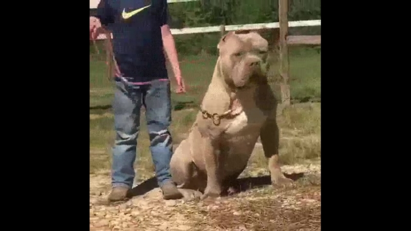 Самый большой питбуль Халк, его вес 79кг.