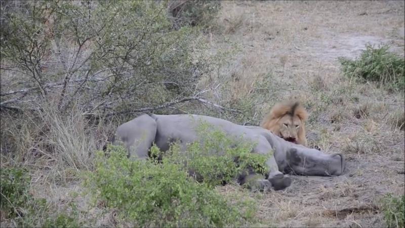 Лев ест носорога живьём