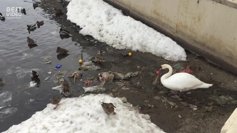 Лебедь чистит озеро от мусора в самом центре Казани