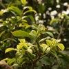 Laos Tea: чай из Пхонгсали