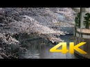 Sakura at Edogawa Koen - Tokyo - 江戸川公園 - 4K Ultra HD 🌸 🇯🇵 🗼
