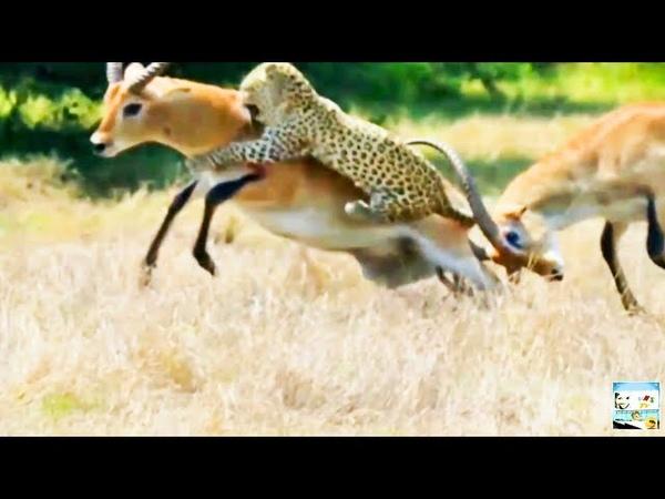 Компиляции Больших Кошек: Львы, Тигры, Ягуары, Гепарды, Леопарды и Рыси _ Full-HD.mp4