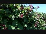 Ежевика Лох Тей, урожай 2018г. 15 кг с погонного метра шпалеры