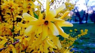 Форзиция. Красивые Цветы. Цветущая Форзиция. Желтые Цветы Форзиция. Футажи для видеомонтажа