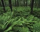 Скачать обои Море папоротника в тёмном лесу (iPhone Wallpapers (320 x 480)).  Обои на рабочий стол, фотографии.