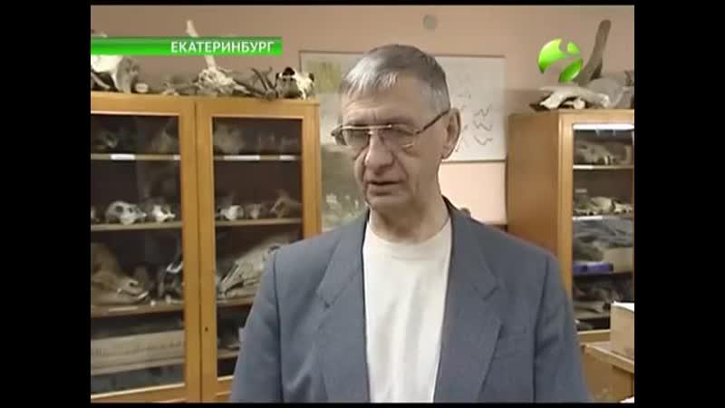 На Урале нашли кости овцебыка, съеденного волками 2900 лет назад