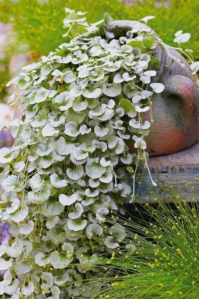 дихондра дихондра довольно неприхотливое ампельное растение. ее многочисленные тонкие плети, свисающие вниз на 2 метра или стелющиеся по поверхности почвы покрыты небольшими ярко-зелеными или