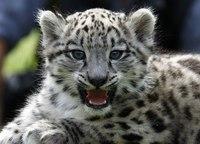 Снежный барс родившийся в апреле в зоопарке Берлина и названный Алтай позирует для фотографов в своем новом открытом...