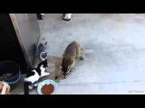 Sneaky Raccoon steals cat food
