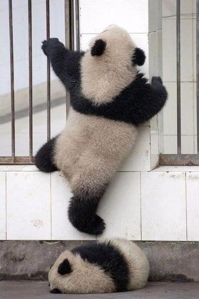 Побег панды из зоопарка не удался