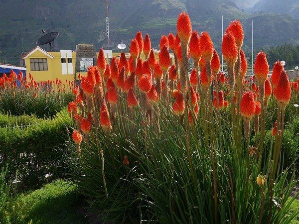 Необычные шишечки-лиатрис. Этот цветок сочетает в себе красоту, приятный аромат и несложный уход. Он может достигать 2-метровой высоты. Имеет разные оттенки: от ярко-розового до белого. Лиатрис