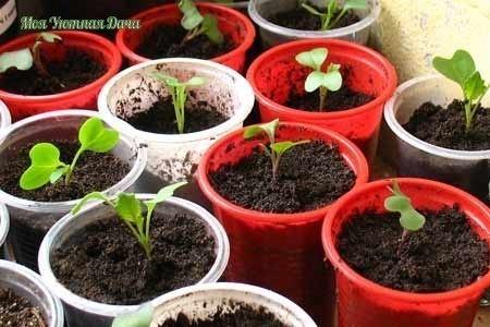 Как понять поспела рассада капусты для пересадки в почву или еще нет