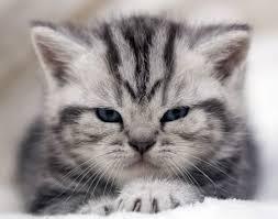 Немного о кошках и почему кошки топчутся?