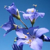 СинюхаГолубая