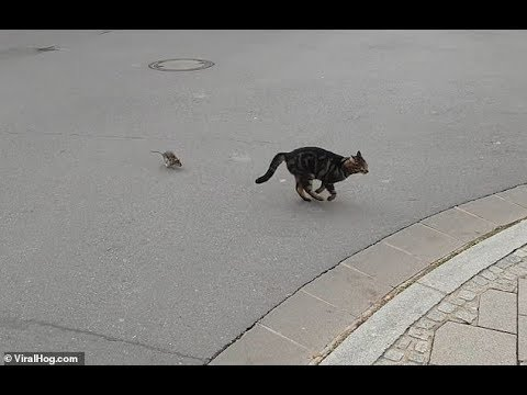 Hilarious moment rat chases cat with its tail between its legs