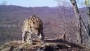 «Селфи» котят и «любовная переписка» попали на видео на «Земле леопарда»