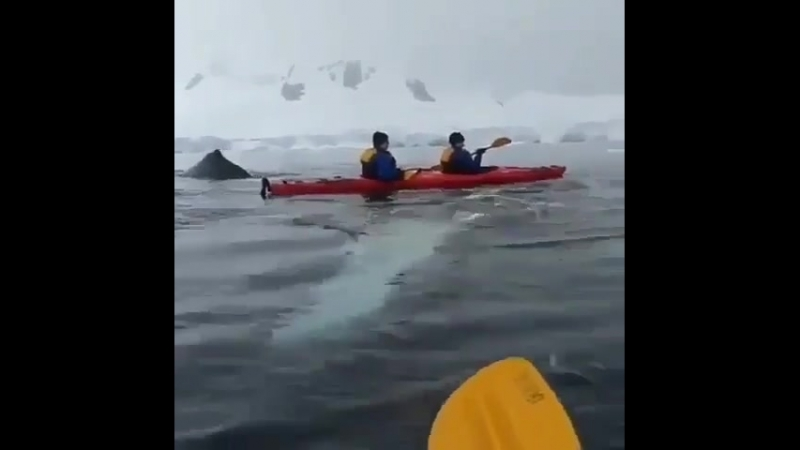 Kayakers had a close encounter of a humpback spyhopping! Awesome _whale2__astonished_ _video_camera_ by @po ( 480 X 480 ).mp4