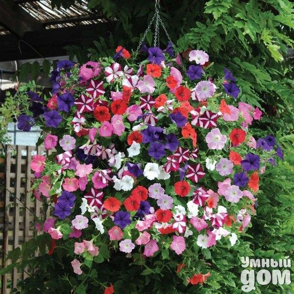 Петуния — маленькие хитрости! В последнее время популярно высаживать цветы в различные подвесные корзины, кашпо. Очень эффектно выглядят петунии, посаженные во всевозможные вертикальные пластиковые формы и конструкции. Для посадки растений в такой контейнер, внутрь вставляют полиэтиленовый черный пакет или пленку с дренажными отверстиями. Сверху насыпают грунт с гелем, удобрением длительного действия и контейнер готов. В существующих отверстиях прорезаются дырки в полиэтилене и по мере…