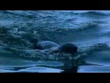 BBC: Жизнь животных - Плотоядные 5 серия Большая белая акула. Смотреть онлайн - Видео - bigmir)net
