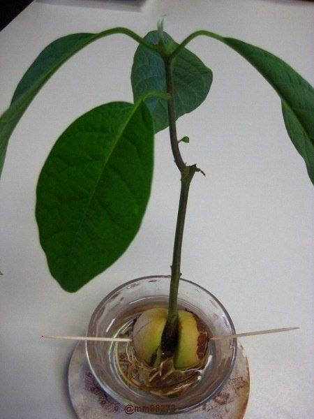 фото авокадо домашних условиях