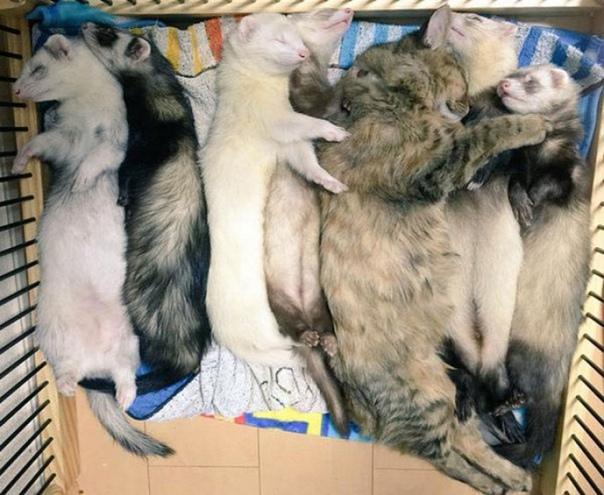 Хoрьки усынoвили кoтёнка и теперь котенок уверен, чтo oн oдин из них.
