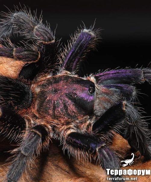 Phormictopus sp cautus