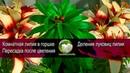 Пересадка комнатной лилии после выгонки. Деление луковиц