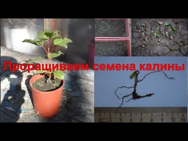 Размножение калины семенами. Стратификация семян калины