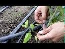 Как подвязывать помидоры. Подвязка растений томата в теплице