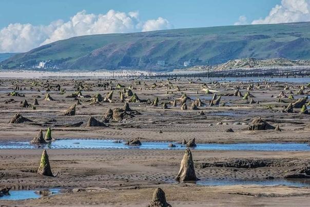 В Великобритании во время отлива показался затонувший лес, затопленный 4,5 тысячи лет назад В Уэльсе, что в Великобритании, после сильного урагана с моря отошла вода и открыла затонувший лес,
