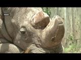 Северных белых носорогов могут вернуть с того света