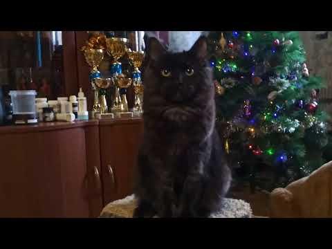 6 мес.Кошка Rosaline Rysenok(ns)10/07/2018.(свободна в любимки)