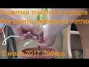 Подвязка томатов помидор огурцов Свободная петля 2 июля 2017 Сибирь дача огород сад