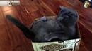 Кота достал свой хвост | new crazy animals 81