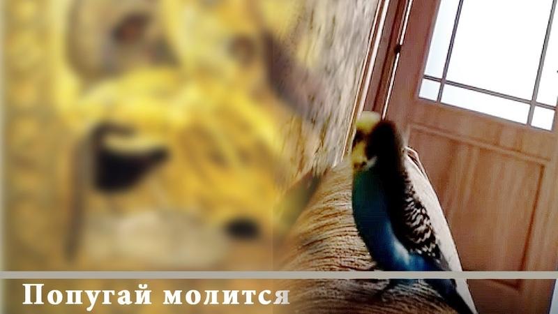 Попугай молится произносит слова молитвы Говорящий попугай Хорошее видео