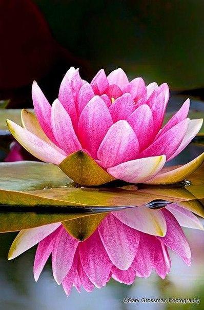 Будь словно лотос, что всегда чист и цветёт даже в мутной воде.