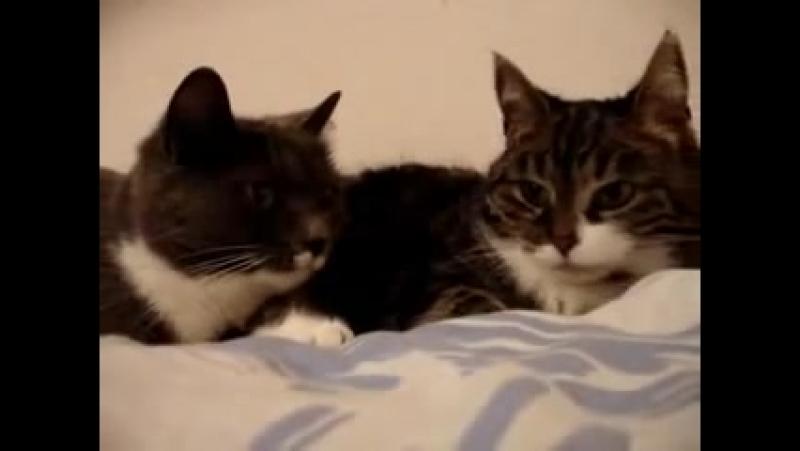 Две кошки разговаривают друг с другом