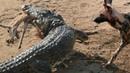 Нильский крокодил отбирает добычу у гиеновидных собак